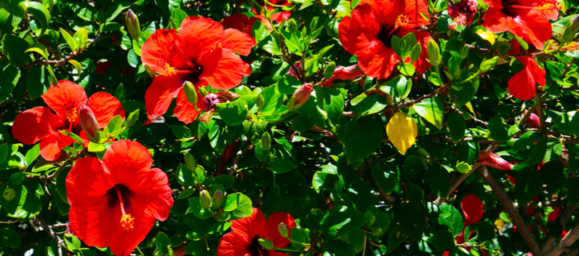 How To Take Care Of Your Hibiscus